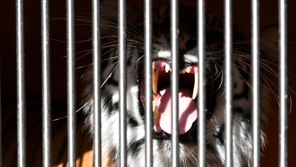 Тигр в вольере Большого Московского государственного цирка - Sputnik Азербайджан