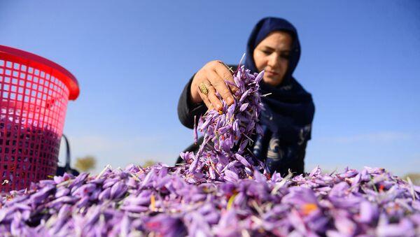Афганская женщина сортирует цветы шафрана в поле на окраине провинции Герат, фото из архива - Sputnik Азербайджан