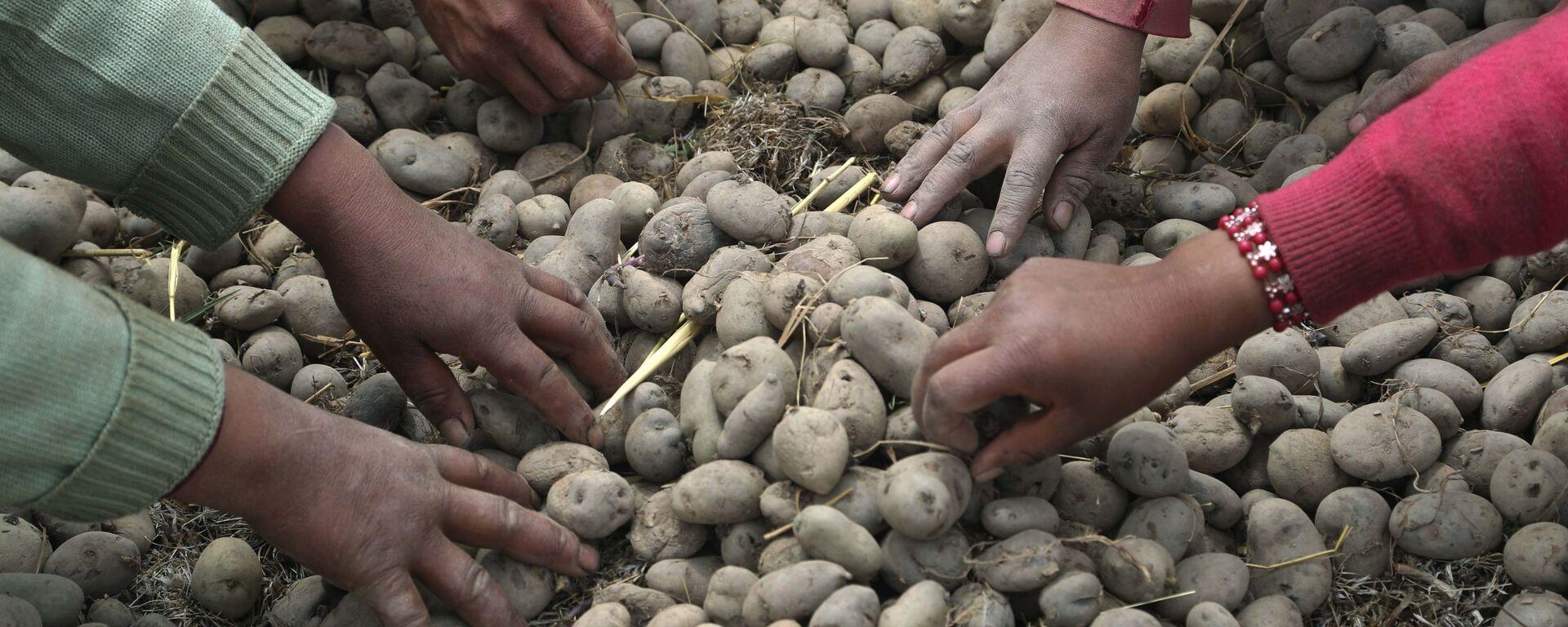 Урожай картофеля, фото из архива - Sputnik Азербайджан, 1920, 25.09.2021