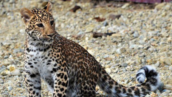 Детеныш леопарда - Sputnik Азербайджан