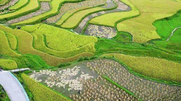 Созрели и засияли золотом - видеокадры рисовых полей в Китае - Sputnik Азербайджан