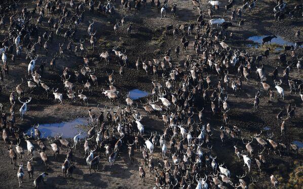 Стадо оленей в тундре в Ямало-Ненецком автономном округе - Sputnik Азербайджан