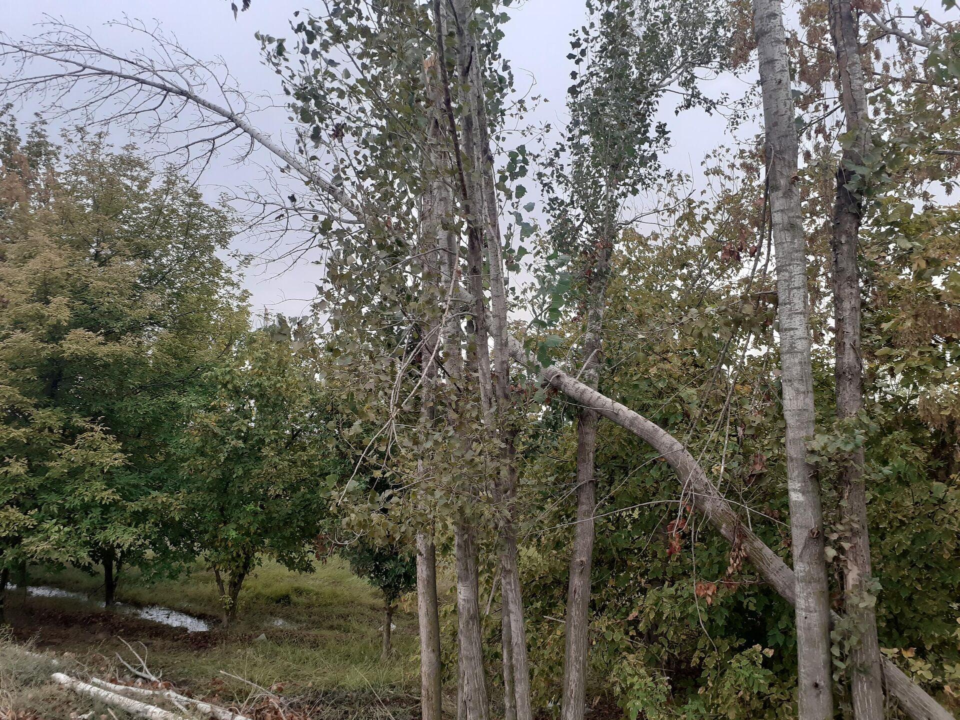 Güclü külək Yevlaxda iri ağacları aşırdıb - Sputnik Azərbaycan, 1920, 01.10.2021