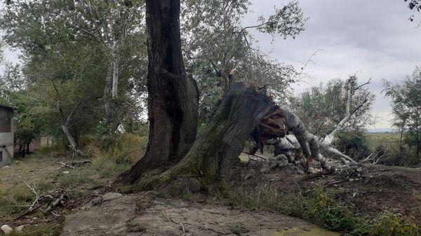 Yevlaxın Əkşəm kəndində aşmış irigövdəli ağaclar - Sputnik Azərbaycan