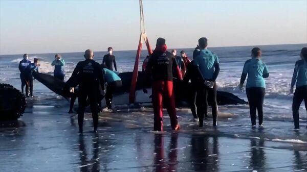 На атлантическом побережье спасли двух горбатых китов - Sputnik Азербайджан