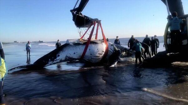 Atlantik dənizi sahillərində iki qozbel balina xilas edilib - Sputnik Azərbaycan