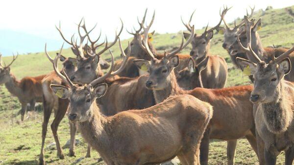 Qafqazda yeganə: Şamaxı Safari Parkı - Sputnik Azərbaycan