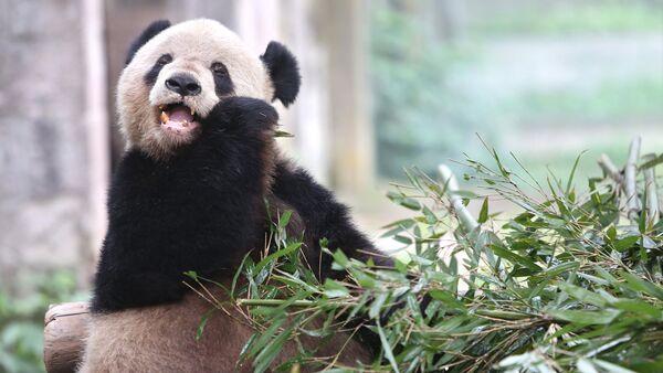 Большая панда в вольере зоопарка города Чунцин в Китае, архивное фото - Sputnik Азербайджан