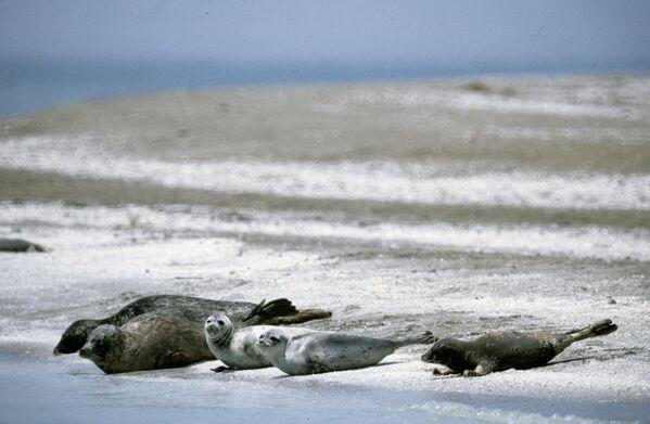 Тюлени на берегу Каспийского моря. Фауна Каспия включает более ста видов рыб, в том числе сельдь, судака, кефаль, кильку. - Sputnik Азербайджан