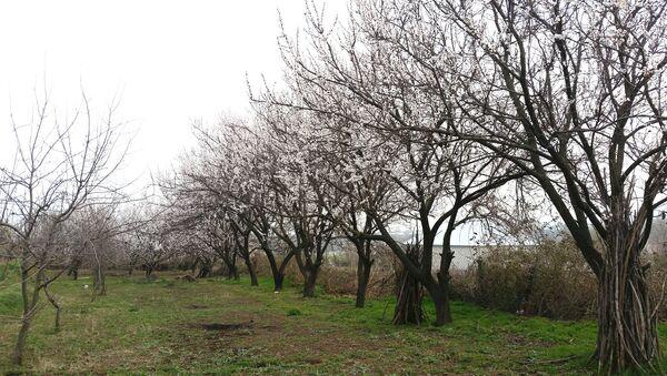 Təsərrüfatında çoxlu meyvə ağaclarının olmasına baxmayaraq, bağ sahibləri normal məhsul götürə bilmirlər - Sputnik Азербайджан