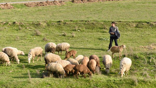 Юный пастух пасет стадо баранов. Архивное фото - Sputnik Азербайджан