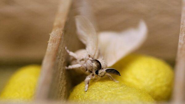 Бабочка тутового шелкопряда, фото из архива - Sputnik Азербайджан