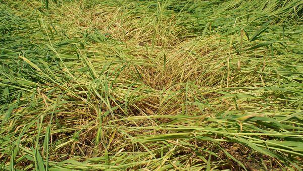 Колосья пшеницы, поврежденные от частых дождей, фото из архива - Sputnik Азербайджан