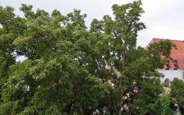 Тутовое дерево - Sputnik Азербайджан