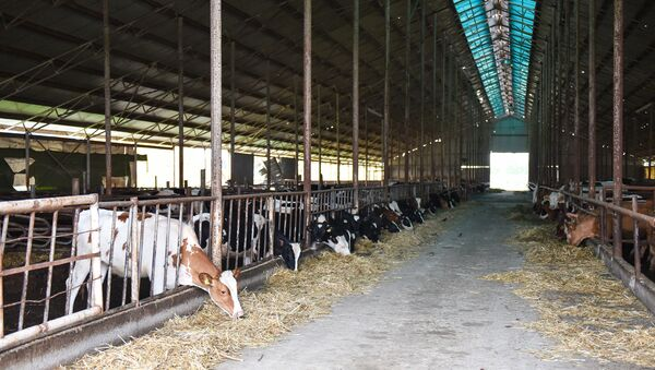 Животноводческая ферма в Агдамском районе - Sputnik Азербайджан
