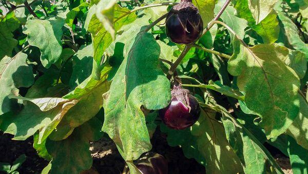 Qazax rayon sakini Alim Əzizovun əkdiyi badımcan bitkisi pomidor formasında bar verib - Sputnik Azərbaycan