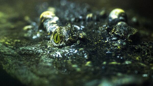 Аллигатор. Архивное фото - Sputnik Азербайджан