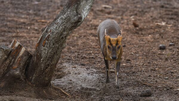 Антилопа, обитающая в зоопарке - Sputnik Азербайджан