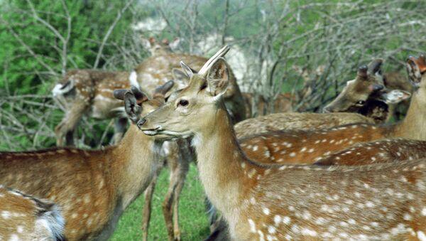 Стадо молодых оленей, архивное фото - Sputnik Азербайджан
