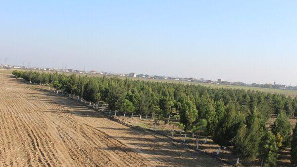 Оливковые деревья, высаженные на Абшероне в рамках программы по озеленению, архивное фото - Sputnik Азербайджан