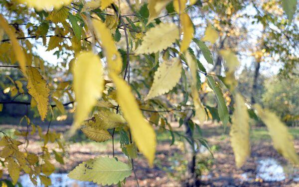 Естественный ареал обитания железного дерева охватывает южные области Азербайджана, а также территорию Ирана - Sputnik Азербайджан