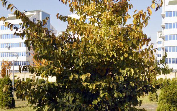 Железное дерево цветет зимой – в конце декабря и начале января - Sputnik Азербайджан