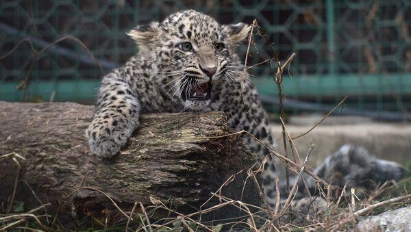 Детеныш леопарда, фото из архива - Sputnik Азербайджан