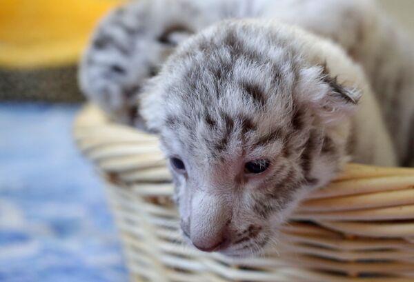 Три редких белых тигренка родились в зоопарке в Крыму - Sputnik Азербайджан