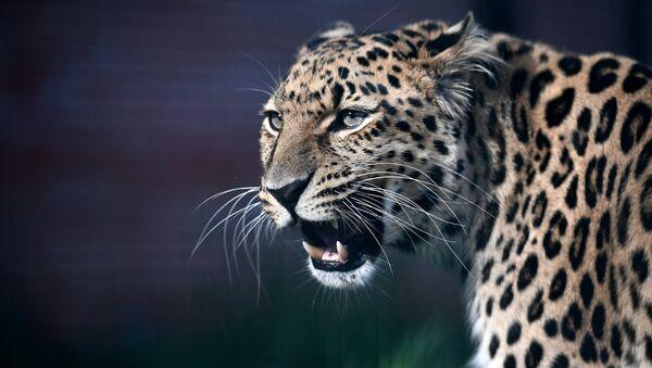 Leopard, arxiv şəkli - Sputnik Azərbaycan