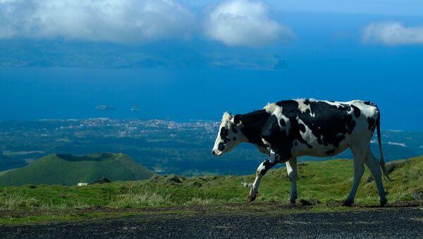 Коровы на пастбище, фото из архива - Sputnik Азербайджан