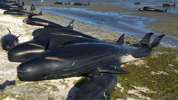 Yeni Zelandiyanın Cənub Adası sahillərinə çıxan 400-dən çox balinanın 70 faizi həyatını itirib - Sputnik Azərbaycan