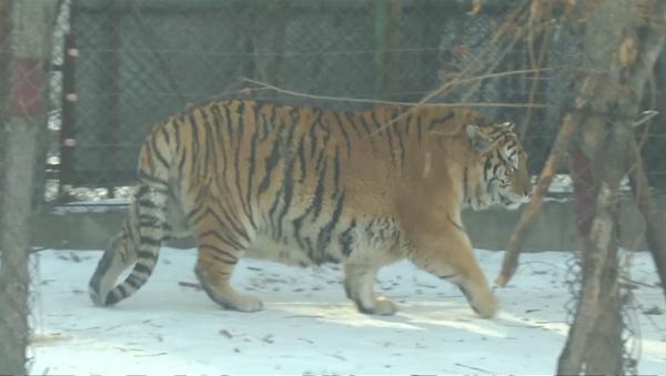 Толстые тигры в Китае - Sputnik Азербайджан