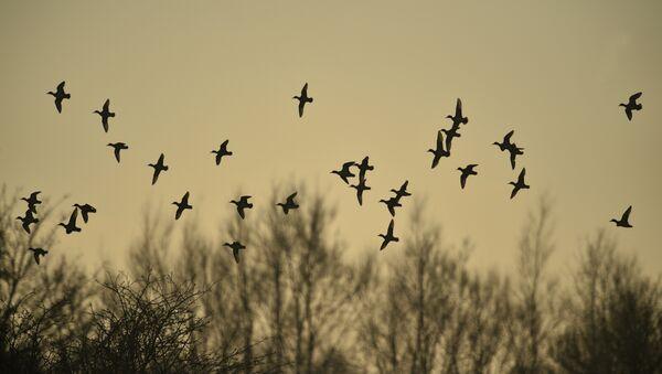 Перелетные птицы, фото из архива - Sputnik Азербайджан