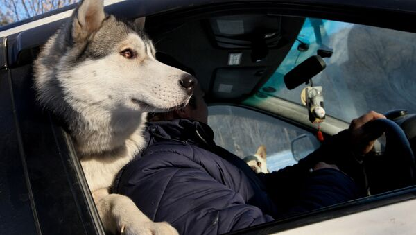 Собака породы хаски с хозяином в машине, фото из архива - Sputnik Азербайджан