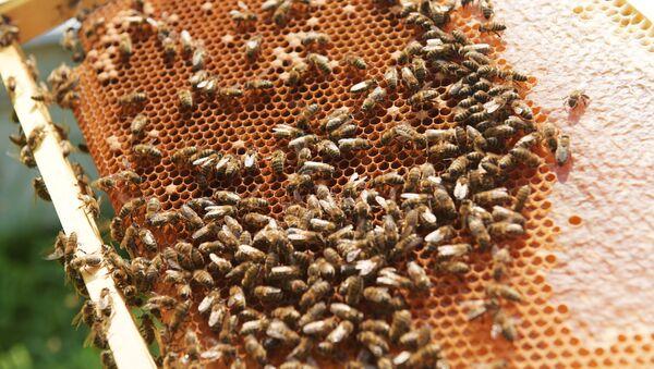 Пчёлы на сотах, частично заполненных мёдом, фото из архива - Sputnik Азербайджан
