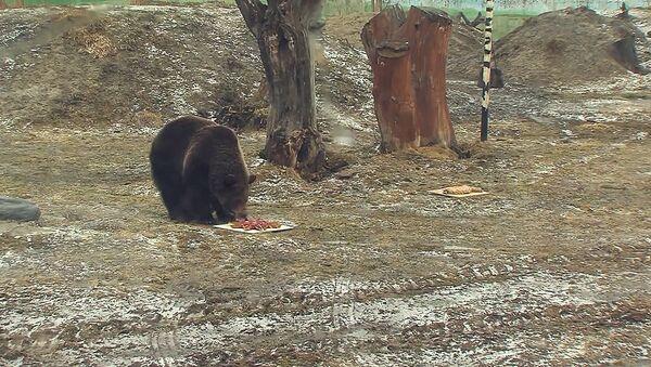 Прогноз погоды от косолапых – как в Ярославле гадали с помощью медведей - Sputnik Азербайджан