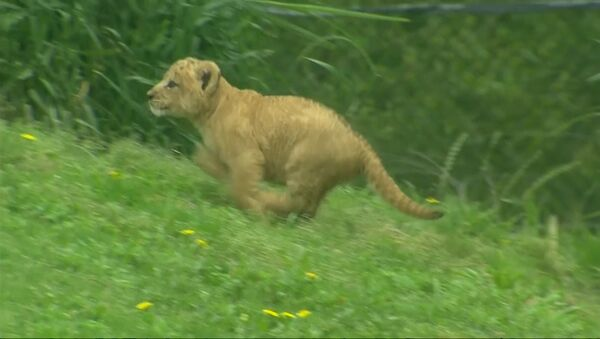 Первая прогулка львенка из зоопарка Далласа - Sputnik Азербайджан