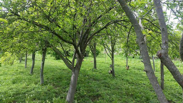 Сад, посаженный Эльханом Гасановым - Sputnik Азербайджан