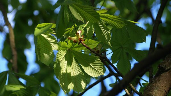 Şabalıd ağacı - Sputnik Азербайджан