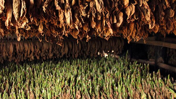 Сушка табака, фото из архива - Sputnik Азербайджан