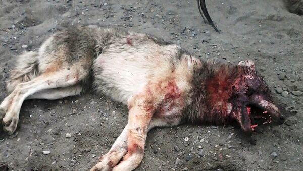 Kəndlilər tərəfindən öldürülmüş canavar - Sputnik Azərbaycan