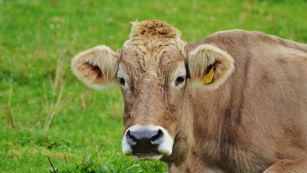 Корова, фото из архива - Sputnik Азербайджан