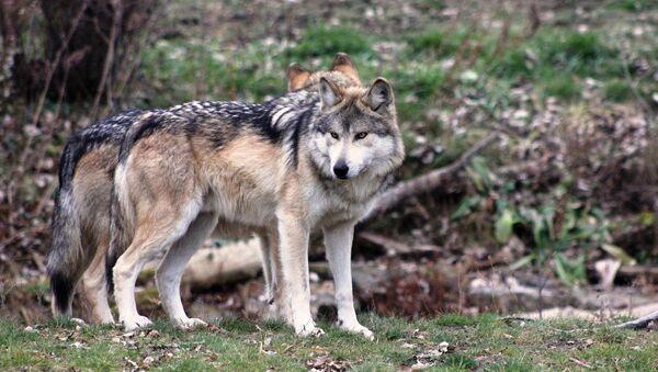 Волки, фото из архива - Sputnik Азербайджан