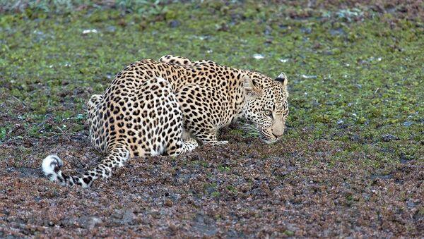 Переднеазиатский леопард - Sputnik Азербайджан