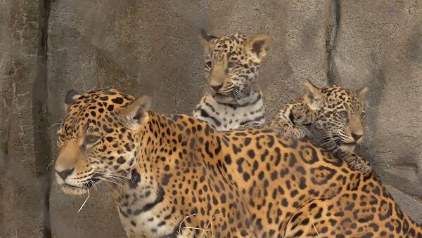 Детеныши ягуара в зоопарке Хьюстона - Sputnik Азербайджан