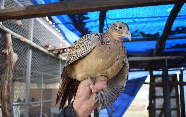 За год Али Бабаев вырастил и продал около ста фазанов - Sputnik Азербайджан