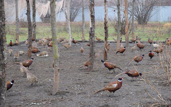 Сейчас в его хозяйстве около 200 фазанов - Sputnik Азербайджан