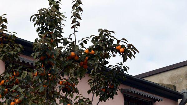 Хурма относится к роду субтропических или тропических листопадных, вечнозеленых деревьев - Sputnik Azərbaycan
