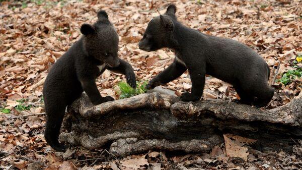 Медвежата, фото из архива - Sputnik Азербайджан