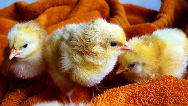 Цыплята - Sputnik Азербайджан